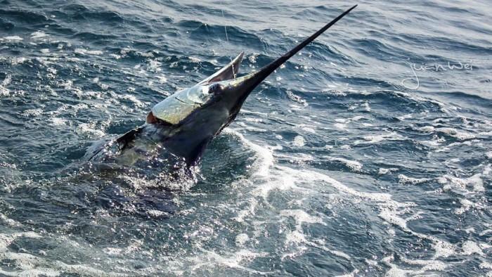 sailfish-rompin-ary_150828_2299