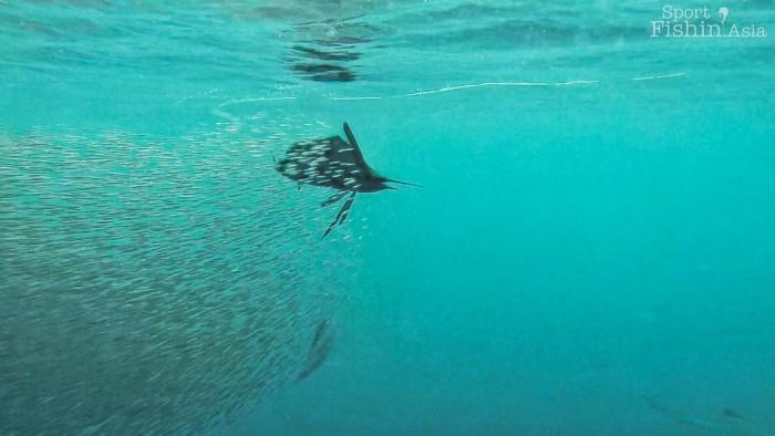 rompin-sailfish-baitfish-underwater-20151226-(5)