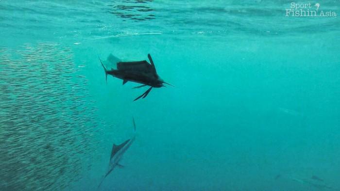 rompin-sailfish-baitfish-underwater-20151226-(6)