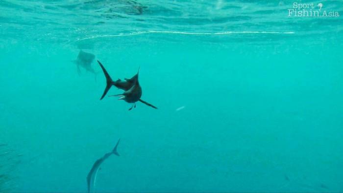 rompin-sailfish-baitfish-underwater-20151226-(7)