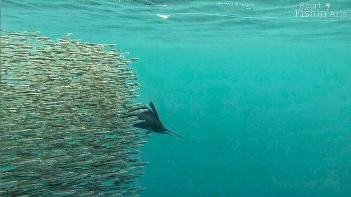 rompin-sailfish-baitfish-underwater-20151226-(8)