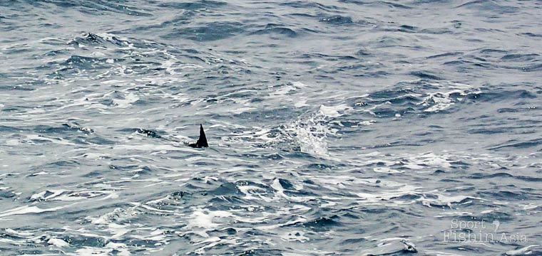The Thrill of the Chase: Teaser-Trolling for Sailfish