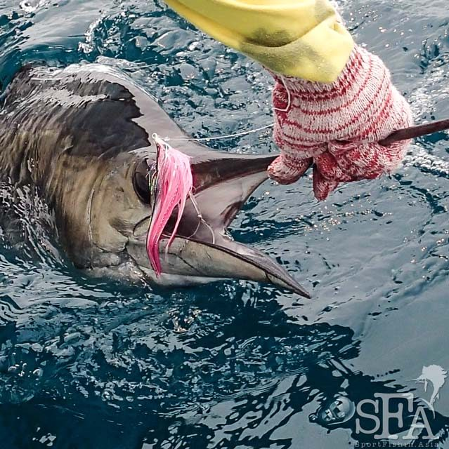 Rompin Sailfish on Fly
