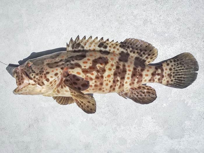 Dinner plate fish, an estuary grouper.