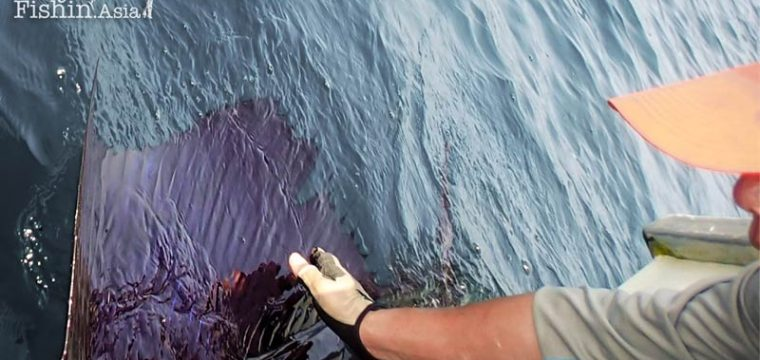 Sek and his Rompin Sailfish on Fly Video