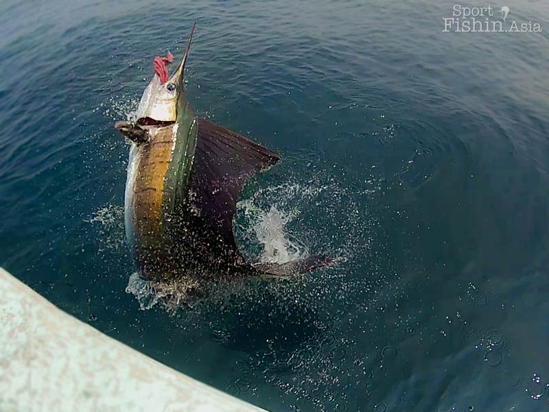 rompin-sailfish-spilling-gut