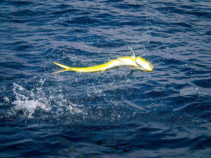 Short Video: Who releases a mahi-mahi ?!