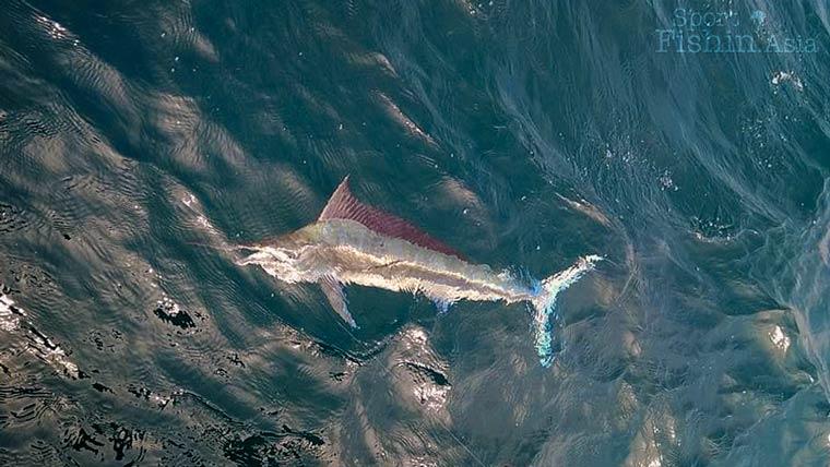 Black Marlin in Kuala Rompin