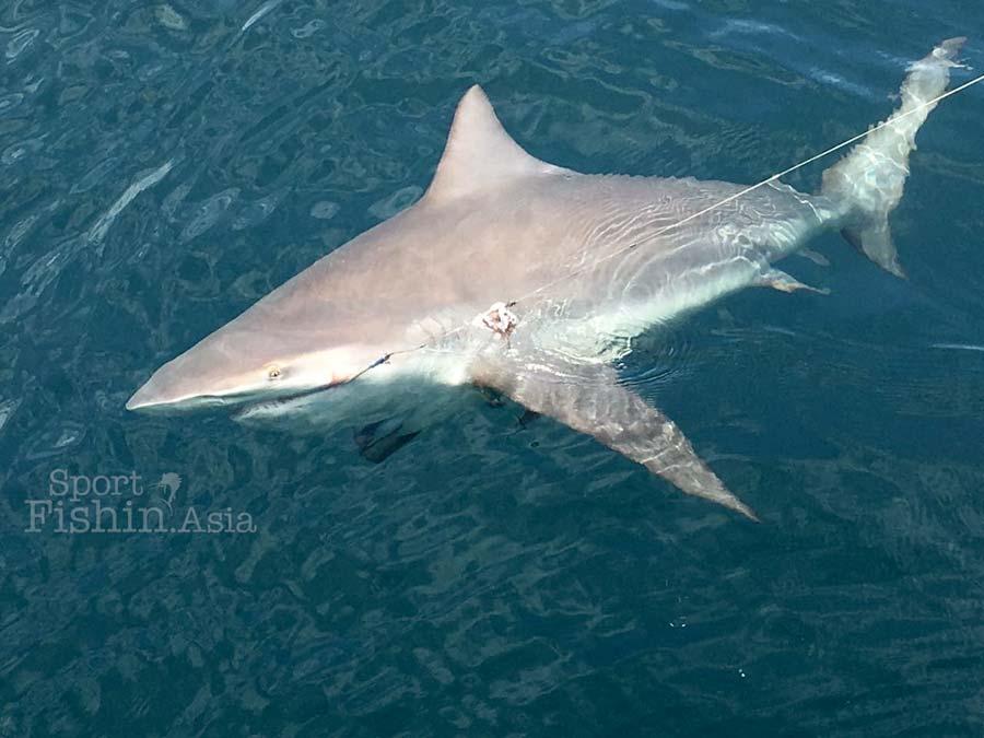 bull-shark-kuala-rompin-09172016-img_0403-1
