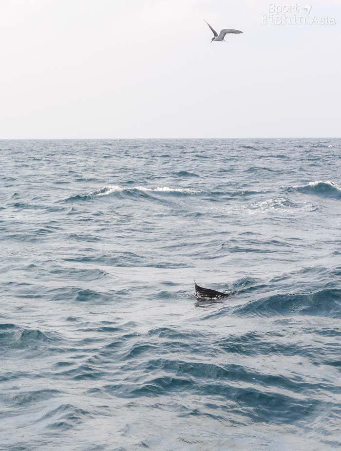 pacific-sailfish-rompin-baitball-01082017–(2)