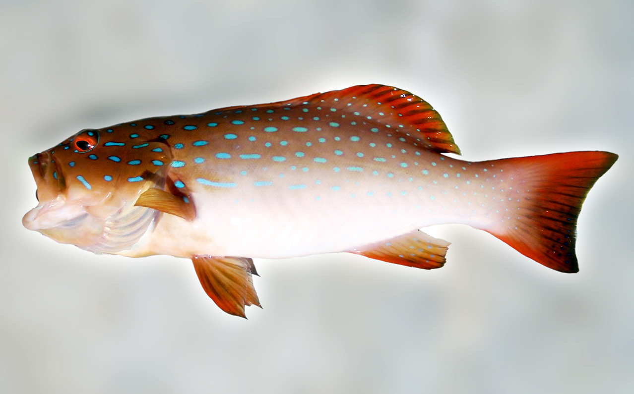 Barred-Cheek Coral Trout