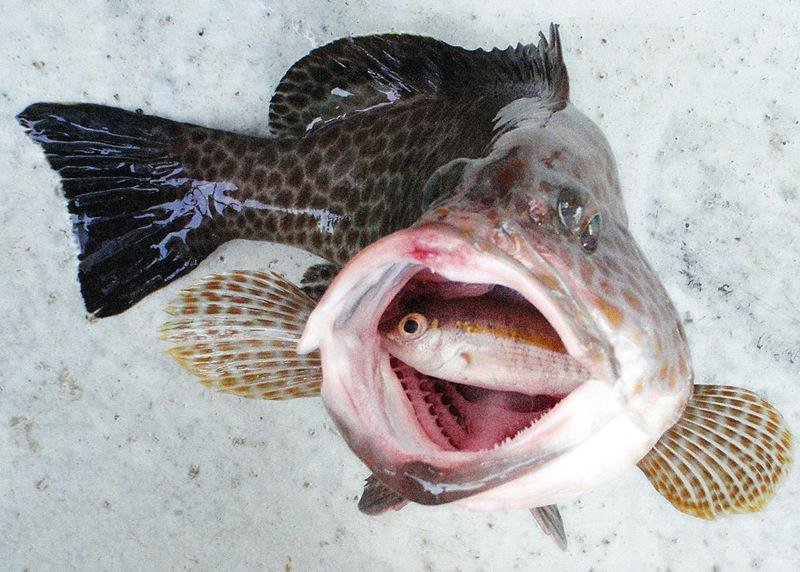 Squaretail Rock Cod