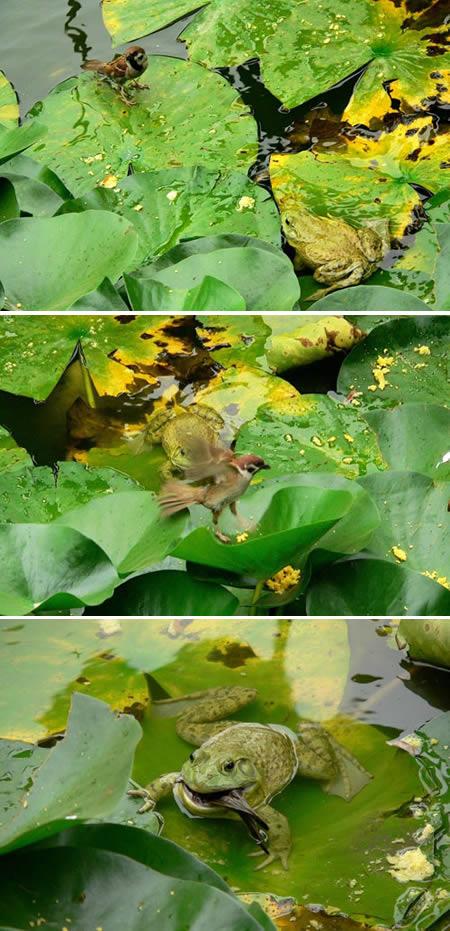 frog_eats_bird