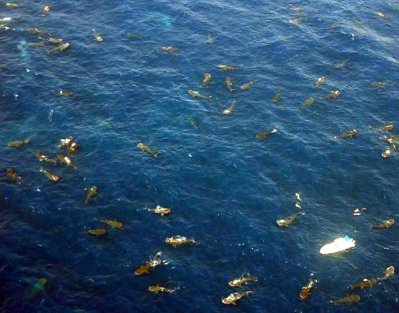 biggest gathering of whale sharks