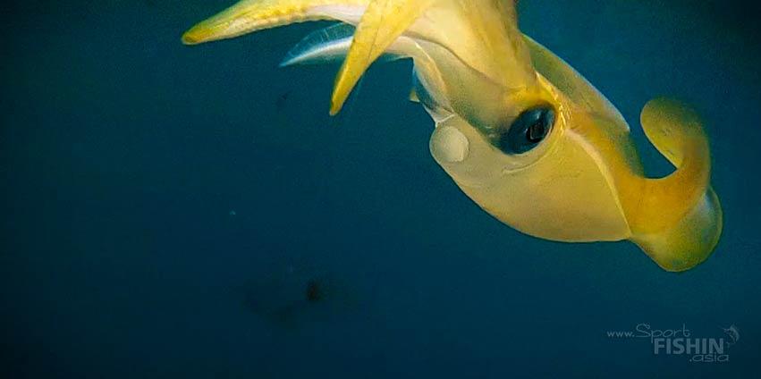 Squid underwater