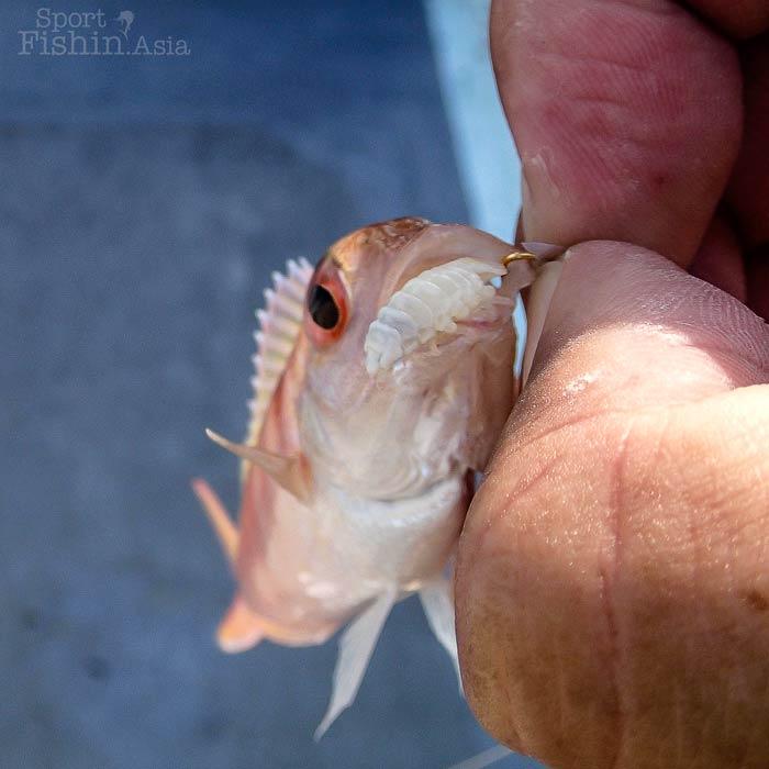 Cymothoa exigua parasite for Freshwater fish parasite identification