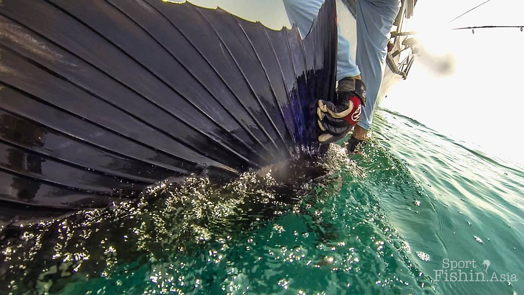 About the Indo Pacific Sailfish (Istiophorus platypterus)