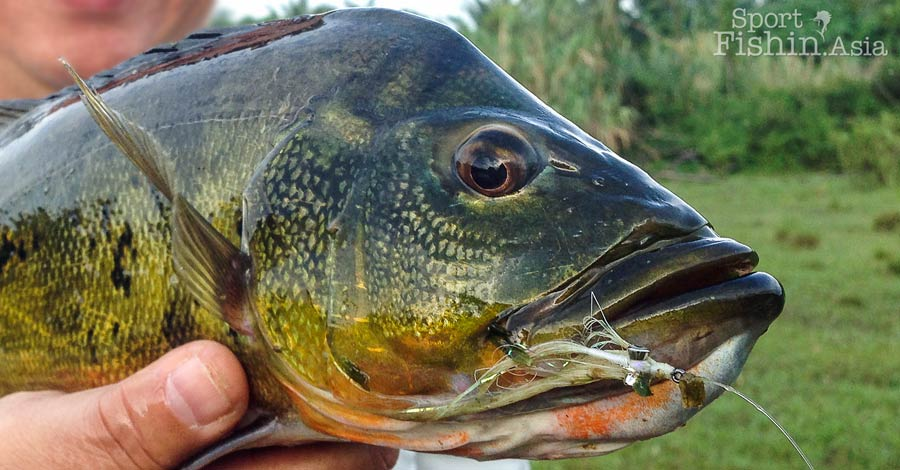 Peacock bass fly-fishing tips