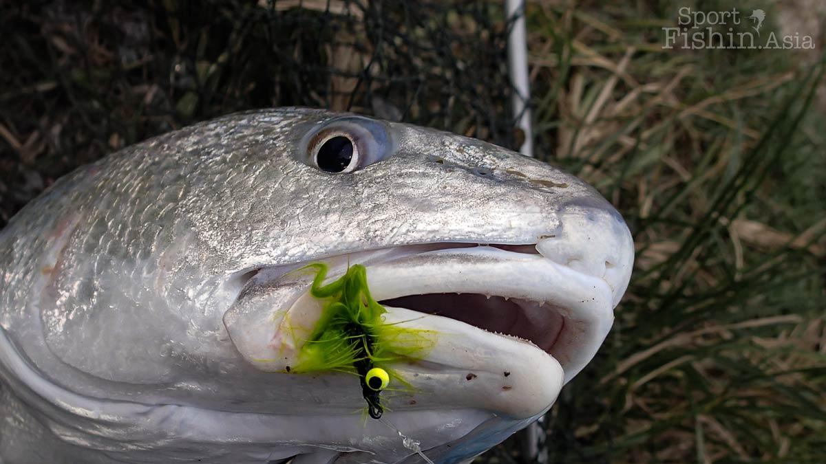 Jugra pond redfish (senangin taiwan)