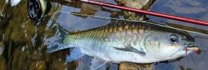 Fly Fishing for Thai Mahseer
