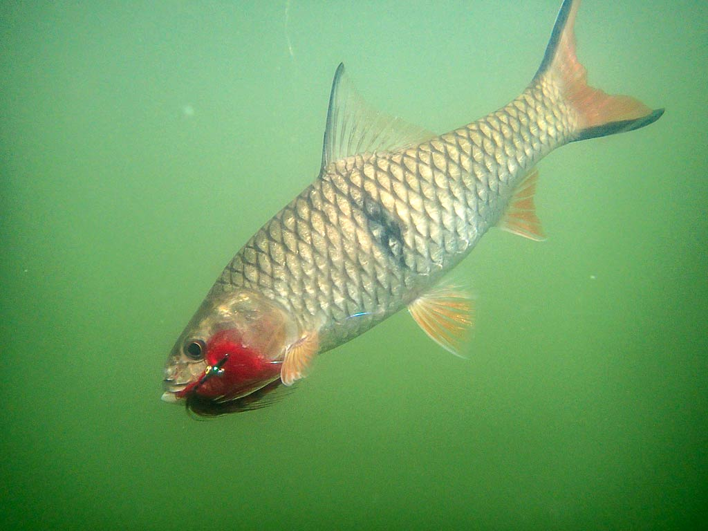 Split-tail Fly for Sebarau – Hampala barb