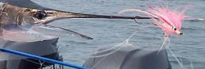 Fly Fishing for Sailfish