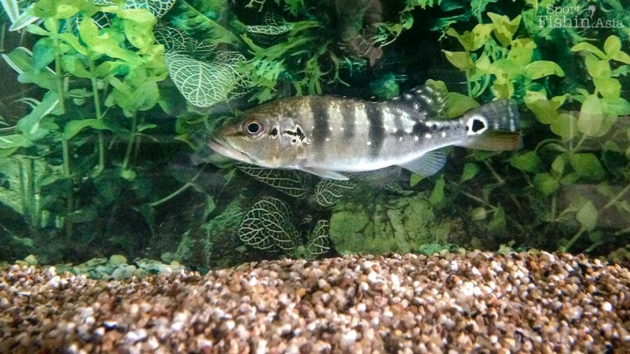 Cichla Temensis Peacock Bass Growth Rate Observation