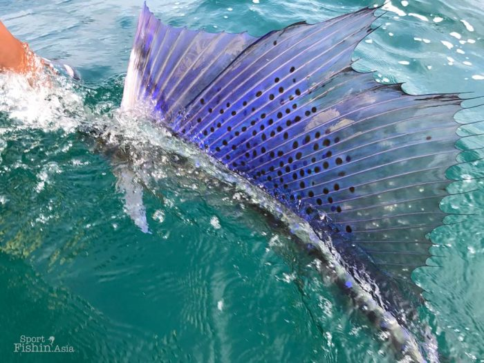 Brightly lit sailfish