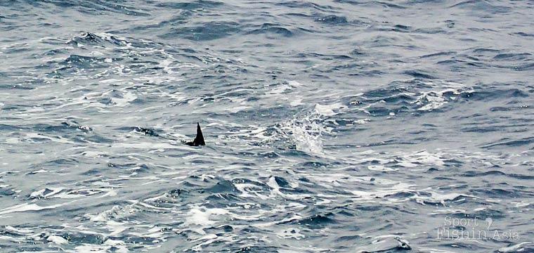 Teasing the Sailfish