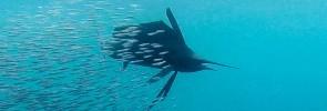 Anchovies – Sailfish's Favourite Food