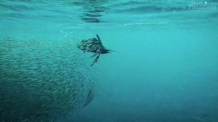 Sailfish with a baitball of anchovies in Kuala Rompin Malaysia