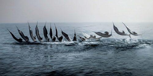 Sailfish jumping sequence photograph