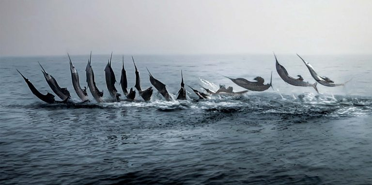 Sailfish jumping sequence photograph