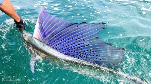 stunning sailfish lit up sail dorsal fin