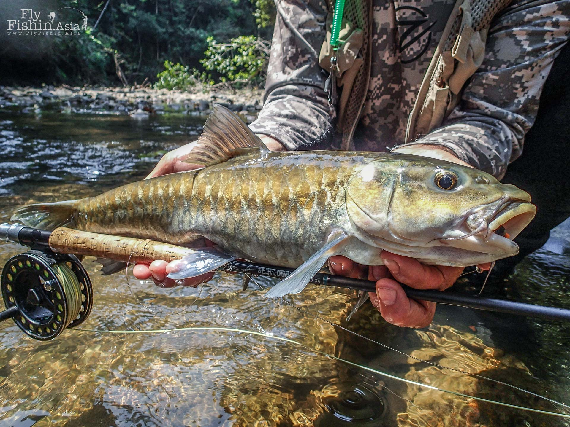 Mahseer has large beautiful gold scales