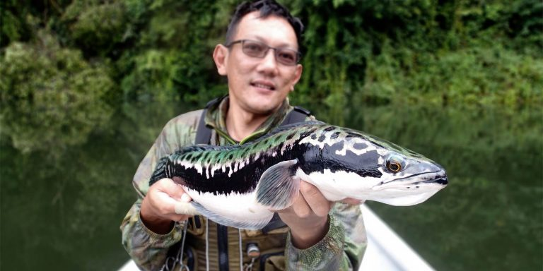 JW with a big giant snakehead in spawning colours in Royal Belum Malaysia