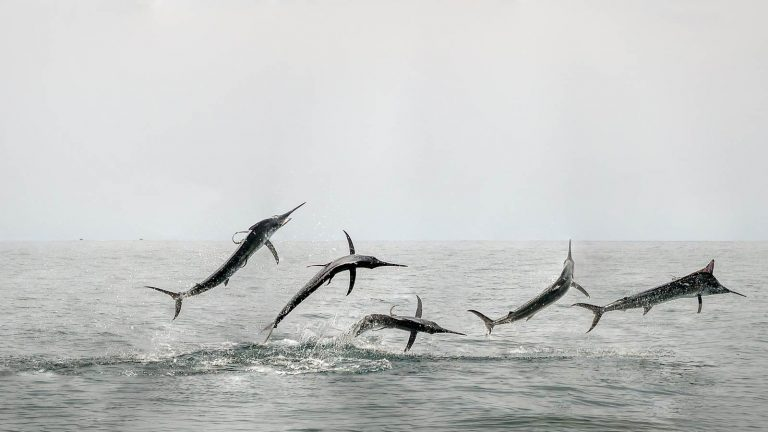 Black marlin jumping sequence photo