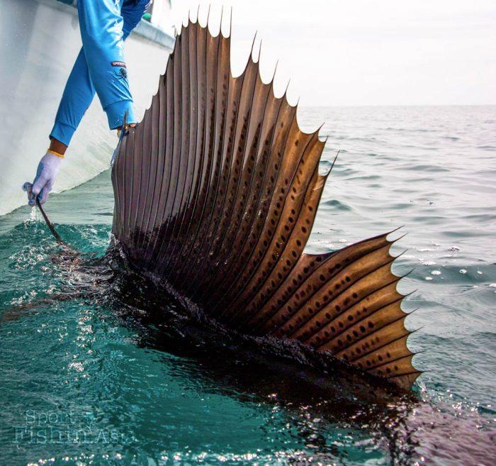 Huge dorsal fin of sailfish