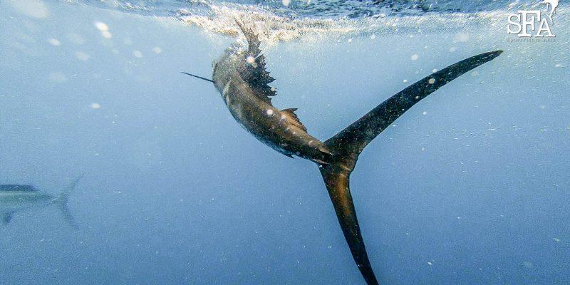 A sailfish swimming away underwater shot