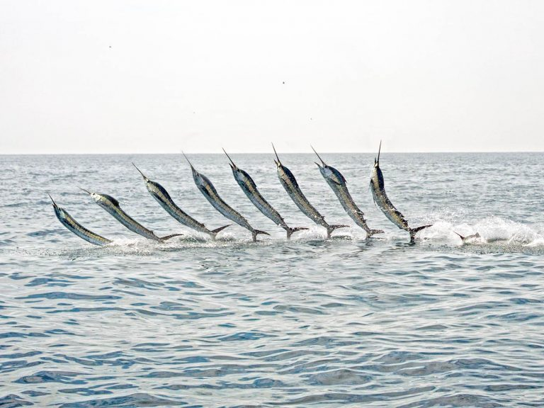 sailfish jump sequence shot