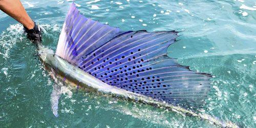 sailfish lit up dorsal fin