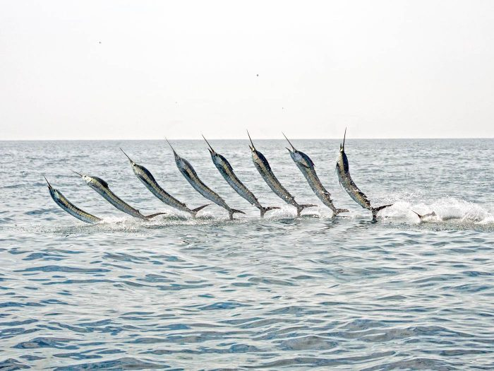 A sequence of shots of a jumping sailfish