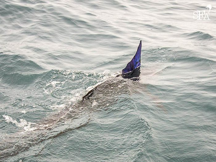 Andrew's sailfish swim away strongly waving its brightly lit dorsal