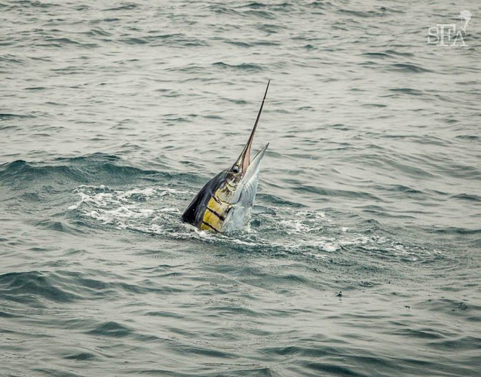 Pete's sailfish breaks the surface