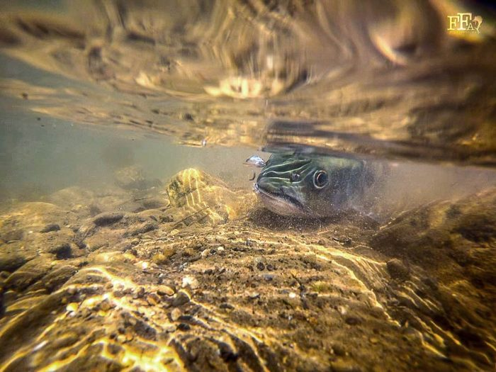 A thai mahseer blows some bubbles before swimming off