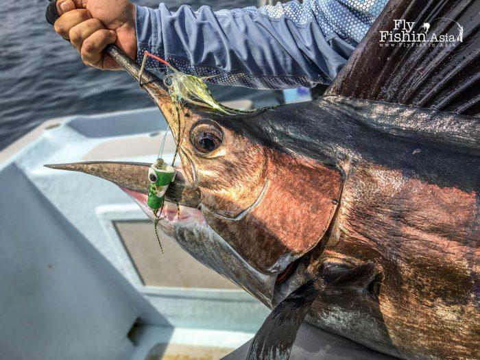 Rompin sailfish on a crease fly
