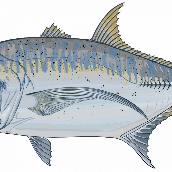 giant trevally drawing close up